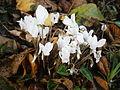 Cyclamen hederifolium album003.jpg