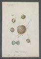 Cyclas cornea - - Print - Iconographia Zoologica - Special Collections University of Amsterdam - UBAINV0274 078 06 0003.tif