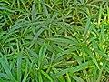 Cyperus albostriatus 001.JPG