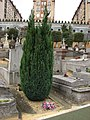 Cypress on grave of Puteaux.jpg