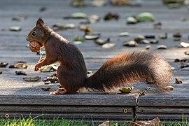 Dülmen, Hausdülmen, Eichhörnchen -- 2020 -- 2668.jpg