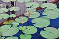 D85 7046 Waterlilies Photographed by Trisorn Triboon (25).jpg