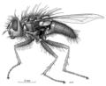 DIPT Calliphoridae Xenocalliphora eudypti f.png