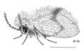 DIPT Psychodidae Psychoda alternata.png