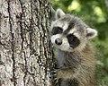 DO Raccoon Kit (5220966160).jpg