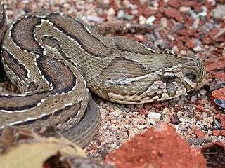 Dilute Russells viper venom time
