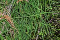 Dacrydium cupressinum in Eastwoodhill Arboretum (2).jpg