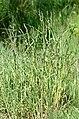 Dactylis.glomerata.2.jpg