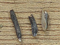 Dactylis glomerata Claviceps purpurea, kropaar moederkoren.jpg