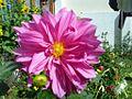 Dahlia20032011037.jpg