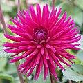 """Dahlia - """"Hillcrest Royal"""" cultivar.jpg"""
