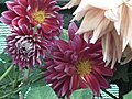 Dahlia from lalbagh 1937.JPG