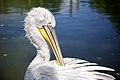 Dalmatian Pelican (9215227083).jpg