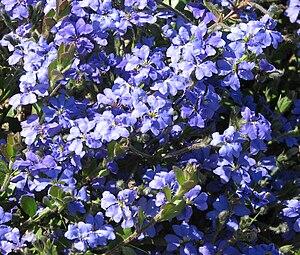 Flora of Western Australia - Dampiera linearis genus named after William Dampier by Robert Brown published in Prodromus Florae Novae Hollandiae in 1810