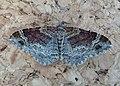 Dark-barred Twin-spot Carpet. Xanthorhoe ferrugata. - Flickr - gailhampshire.jpg