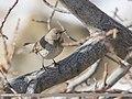 Dark-throated Thrush (Turdus ruficollis) (50615196392).jpg