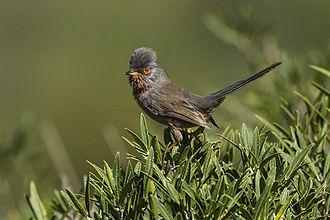 Mendip Hills - Male Dartford warbler