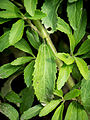 Das Süßkraut, lat. Stevia rebaudiana 02.jpg