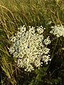 Daucus carota subsp. carota sl12.jpg