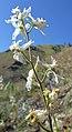 Delphinium xantholeucum 2.jpg