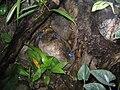 Dendrobates azureus, Baltimore Aquarium.jpg