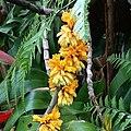 Dendrobium bullenianum ( Raab Bustamante).jpg