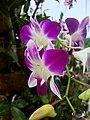 Dendrobium cultivar.jpg
