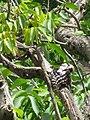Dendrocopos syriacus preening-2.jpg