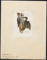Dendropicus hemprichii - 1820-1860 - Print - Iconographia Zoologica - Special Collections University of Amsterdam - UBA01 IZ18700185.tif
