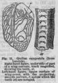 Descent of Man - Burt 1874 - Fig 11.png
