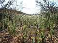 Desert fiddleneck (Amsinckia tessellata); Pine City Trail.jpg