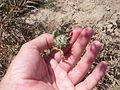 Desert plants 21.JPG