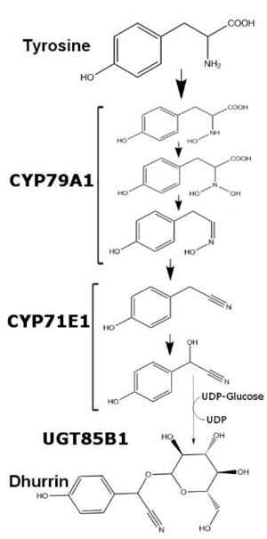 Dhurrin - Starting with tyrosine, CYP79A1 and CYP71E1 alter the compound before UGT85B1 transfers glucose to form dhurrin.