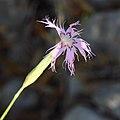 Dianthus broteri subsp. valentinus 05.JPG