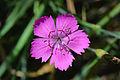 Dianthus deltoides, steenanjer (2).jpg