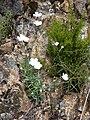 Dianthus furcatus ssp gyspergerae 3.jpg