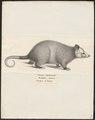 Didelphis azarae - 1700-1880 - Print - Iconographia Zoologica - Special Collections University of Amsterdam - UBA01 IZ20300086.tif