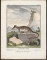 Didelphis opossum - 1700-1880 - Print - Iconographia Zoologica - Special Collections University of Amsterdam - UBA01 IZ20300098.tif