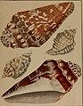Die Flügelschnecken (Strombea) - in Abbildungen nach der Natur mit Beschreibungen (1845) (20292549554).jpg
