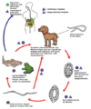 Dioctophyme renale Lebenszyklus.png