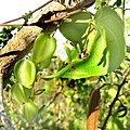 Dioscorea-female-flowers.jpg