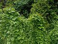 Dioscorea caucasica 2016-05-31 1886.jpg