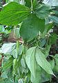 Dioscorea hispida.jpg