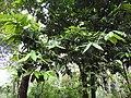 Diospyros-1-bramore-kerala-India.jpg