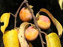 Diospyros virginiana-fruit.jpg