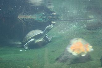Central American river turtle - Central American river turtle in Prague Zoo