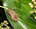 Dock bug (Coreus marginatus) sunning with Yellow Swarming Fly. Thaumatomyia notata (23939486688).jpg