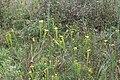 Doerun Pitcherplant Bog yellow flytrap 4.jpg