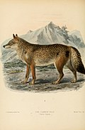 Dogs, jackals, wolves, and foxes- a monograph of the Canidae. With woodcuts, and 45 coloured plates drawn from nature by J.G. Keulemans and hand-coloured (1890) (20979278382).jpg