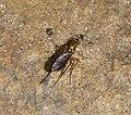 Dolichopodidae? (31341239484).jpg